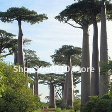 High-quality Baobab Bonsai Piante Tree Rare Tropical Exotic Plant Garden Perennial Flowerpot Beautiful Huge Trunk Plants