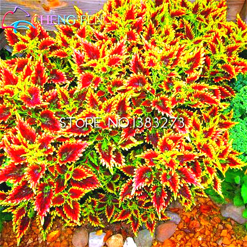 Free Shipping 30pc Chinese Japanese Bonsai Coleus Seeds Foliage Plants Perfect Color Houseplants For Mini Garden