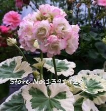 200 Pcs Two-color Univalve Geranium Seeds Pelargonium Peltatum 'Westdale Apple Blossom' in Gardens Perennial Flower Plant