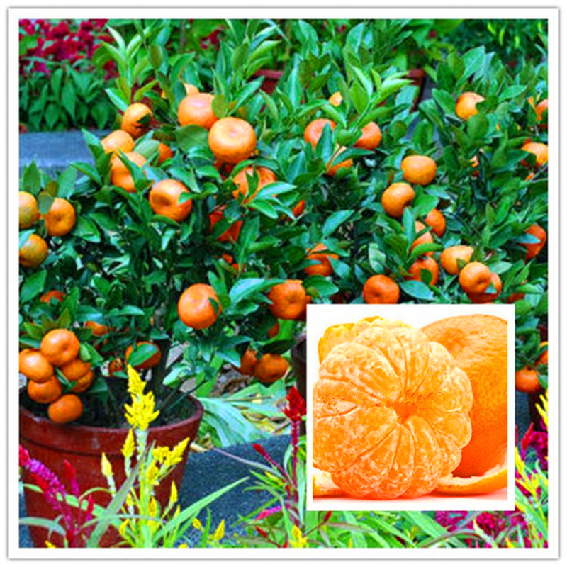 orange seeds Cold-hardy - Sweet Mandarin Orange Tree ( Citrus reticulata ) 50 pcs chinese gold bonsai fruit seeds for garden ...
