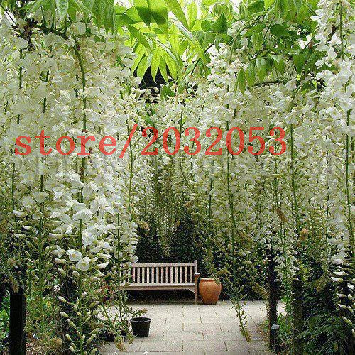 10 wisteria seeds white color rare tree seeds for DIY home garden very beautiful