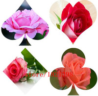 100seeds / pack, Yunnan Red Rose seeds flower seeds