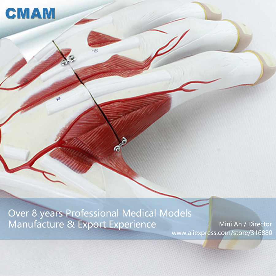 12032 CMAM-MUSCLE09 Enlarged 2x Life Size Human Anatomy Hand Muscle Model, Science Educational Teaching Anatomical Models human hand joint life size bone skeleton anatomical model medical anatomy for medical science teaching