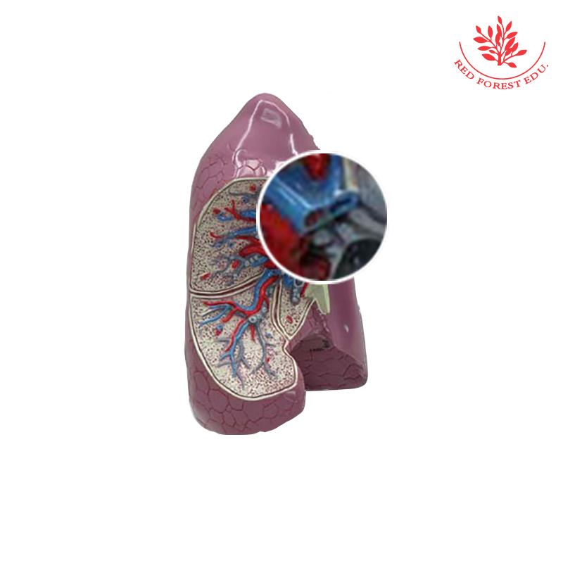 Anatomy biological Trachea bronchus and lung model clinical sports anatomy