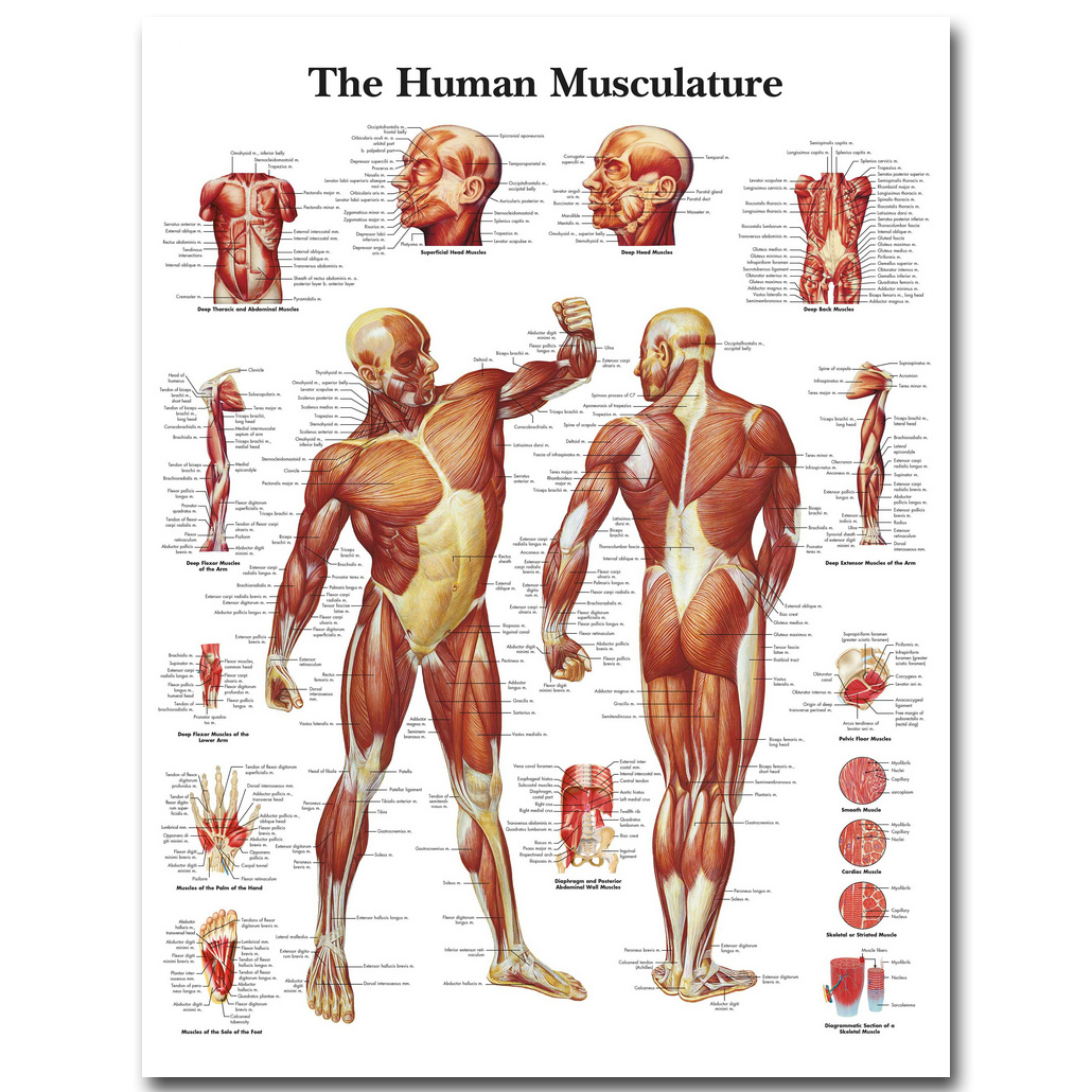 Human Anatomy Muscles System <font><b>Art</b></font> Silk <font><b>Cloth</b></font> Poster Print 24x32 32x43 inch Body Map Pictures for Medical Education 025