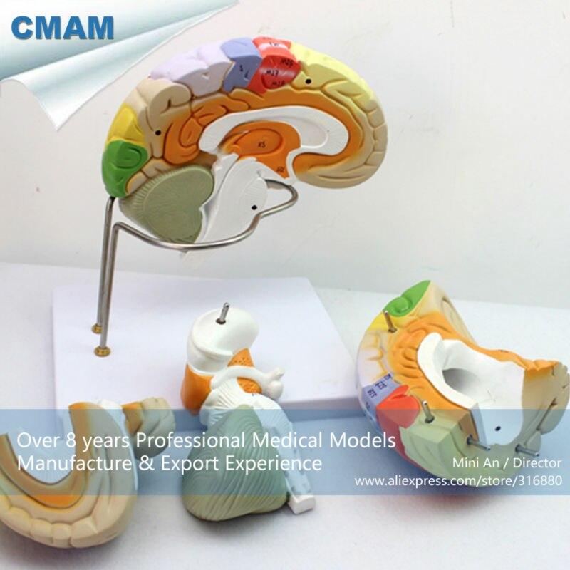 12406 CMAM-BRAIN08 Advanced Medical Usage 2X Life-size Brain Anatomical Model in 4 Part, Anatomy Models > Brain Models cmam pelvis02 medical anatomical adult male pelvis models anatomy models male female models
