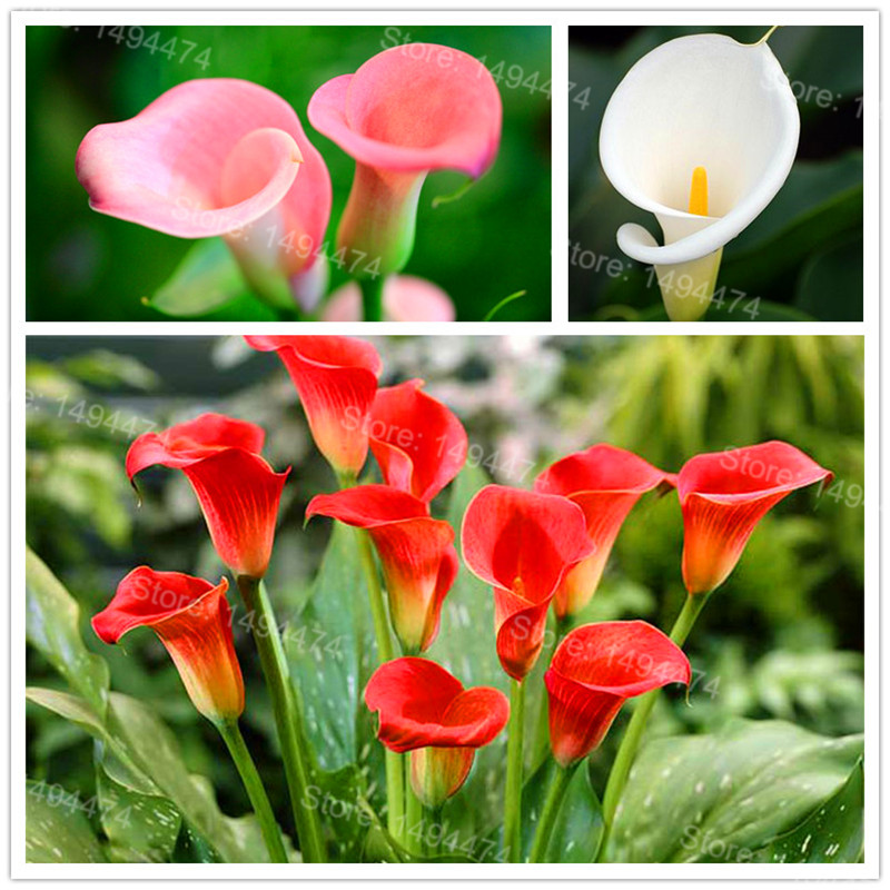 100pcs/bag Rare Calla Lily Seeds mixed color beautiful bonsai flower seeds Elegant noble plant seeds for home garden