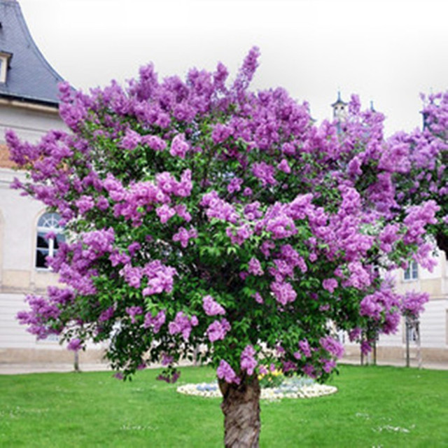 100 Pcs Natural Lilac Seeds Syringa Vulgaris Flower Planmts Diy Home