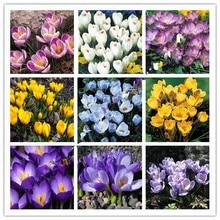100PC Saffron seeds, saffron flower seeds, saffron crocus seeds, Garden flowers plant,Bonsai seeds