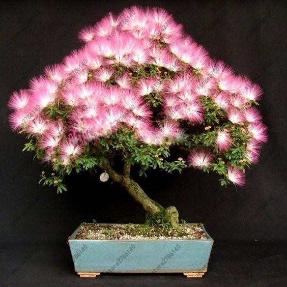 20 قطعة دقن (السنط) Julibrissin شجرة (ميموزا/الفارسي الحرير شجرة) مصغرة بوعاء بونساي زهرة ، diy المنزل مصغرة حديقة النبات