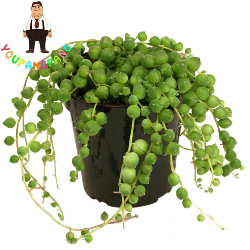 string of pearls succulent - 800×800