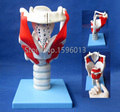 Caliente estructura y función de laringe, laringe modelo humano