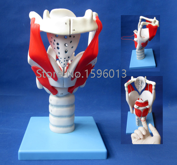 HOT Structure and Function of Larynx Model, Human Anatomical Larynx model larynx with toungue and teeth model anatomical larynx model