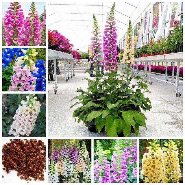 50 Pcsbag Common Foxglove Flowerbonsai Perennial Flower Bonsai