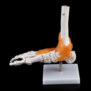 Image 3 - 1: 1 Scheletro Umano Modello Umano Giunto Medico Anatomia Legamenti Della Caviglia Anatomicamente Insegnamento Delle Risorse Strumento