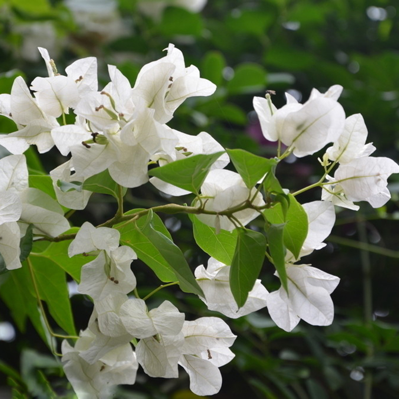120 pcsbag white bougainvillea spectabilis seeds sementes de flores 120 pcsbag white bougainvillea spectabilis seeds sementes de flores perennial flowering plants bonsai plant seeds in bonsai from home garden on mightylinksfo