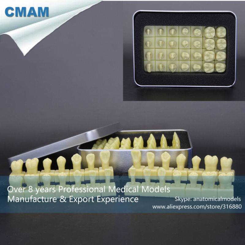 ФОТО CMAM-DT113 Human Dental Teaching Model 1.2Time Enlarge Permanent Teeth Model
