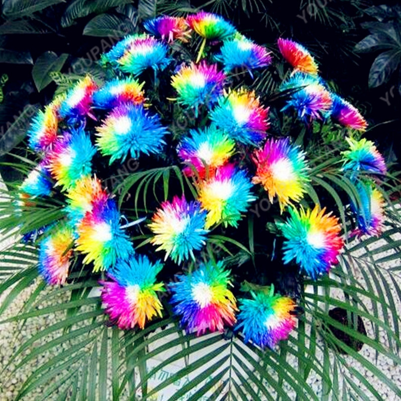 200PCS Rainbow Chrysanthemum Seeds Bonsai Flower Seeds Potted Plant Perennial Flowers For Home Garden Planting Free Shipping