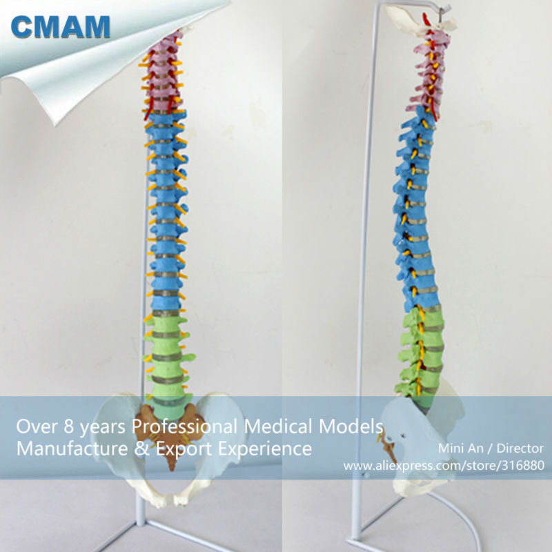 12373 CMAM-SPINE02 Human Full Size Color Didactic Spine Model, Spine/Vertebrae Models