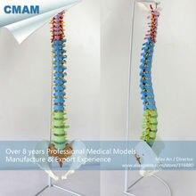 CMAM SPINE02 Human Full Size Color Didactic Flexible Spine Model Spine Vertebrae Models