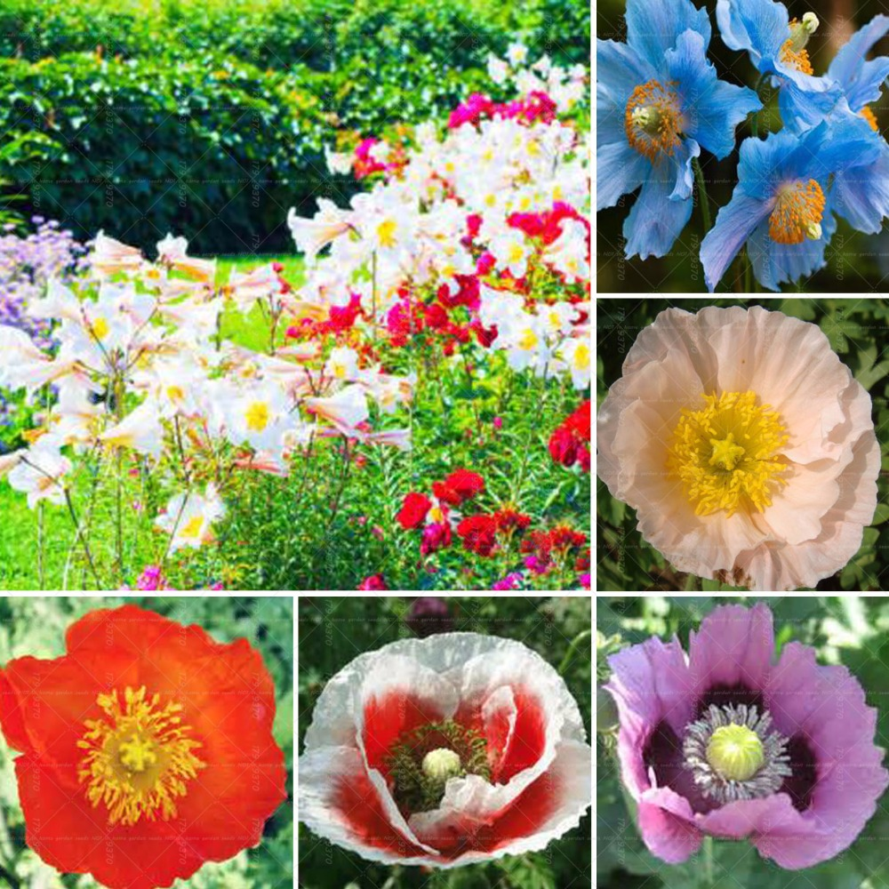 best top 10 poppy flower pot ideas and get free shipping