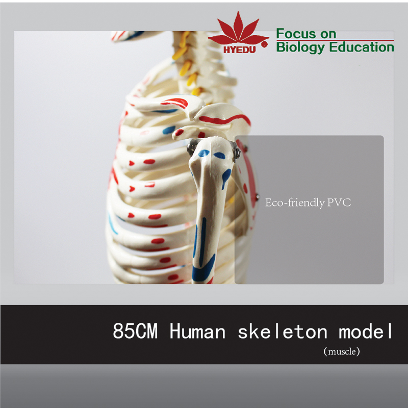 Medical Science two side Muscle Painted Muscle origins (red) and insertions (blue)  85cm Skeleton Model цены онлайн
