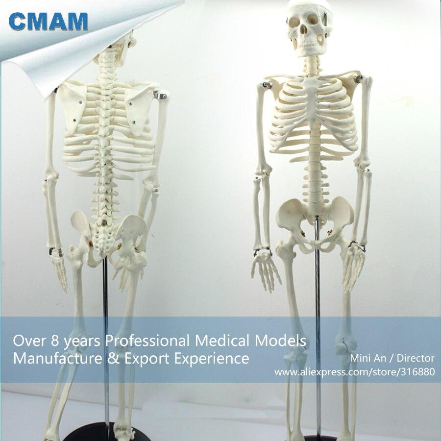 12366 / CMAM-SKELETON06 Medium 85cm Human Skeleton on Stand,  Medical Science Educational Teaching Anatomical Models12366 / CMAM-SKELETON06 Medium 85cm Human Skeleton on Stand,  Medical Science Educational Teaching Anatomical Models