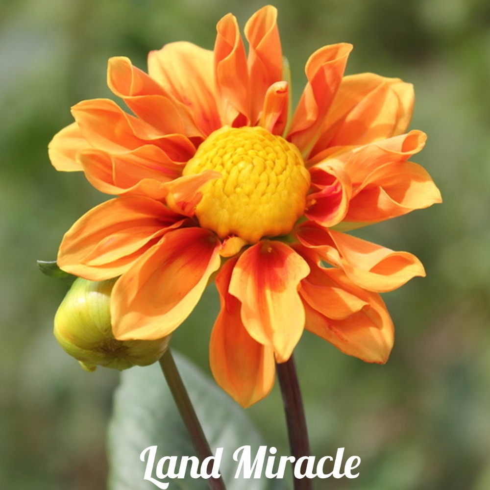 50 Seeds Unique Orange Fireball Dahlia Seeds Beautiful Flower Perennial Plant Dahlia Seeds for Home & Garden Plant Seedling