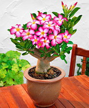 5 Pcs Exotic Rare Pink Petals Desert Rose Seeds True Beautiful Bonsai Potted Flowers Balcony Adenium Obesum Seed For Sale