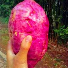 100 pcs/bag purple sweet potato bonsai RARE exotic delicious giant fruit vegetable home&garden plants стоимость