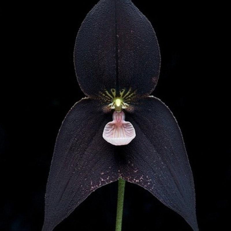 schwarze orchidee anlage kaufen billigschwarze orchidee. Black Bedroom Furniture Sets. Home Design Ideas