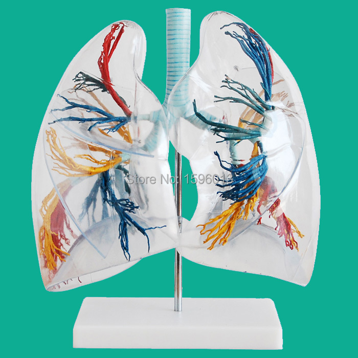Model of the Transparent Lung Segment, Medical Transparent Lung Segment Model мешок filtero brk 01 экстра