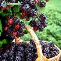 Nutritious Pre Stratified Jumbo Thornless Blackberry Seeds Juicy Sweet Healthy Hruit DIY Home Garden Fruit Seeds