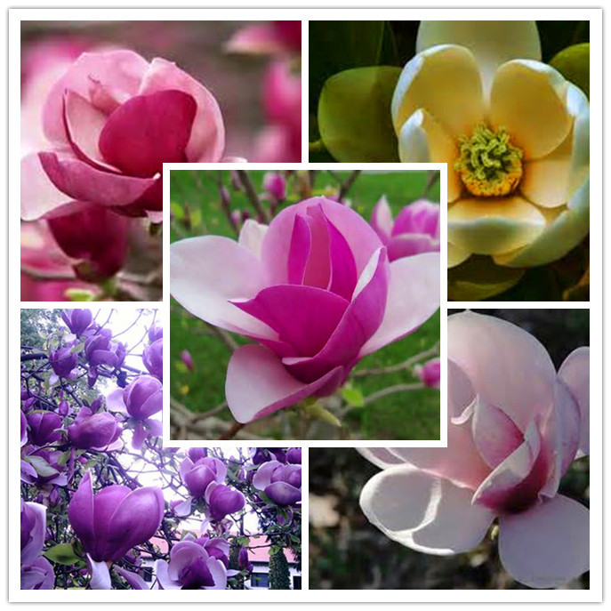 20 seeds/bag rare flower seeds Beautiful Yulan Flower Seeds, magnolia Seeds free shipping