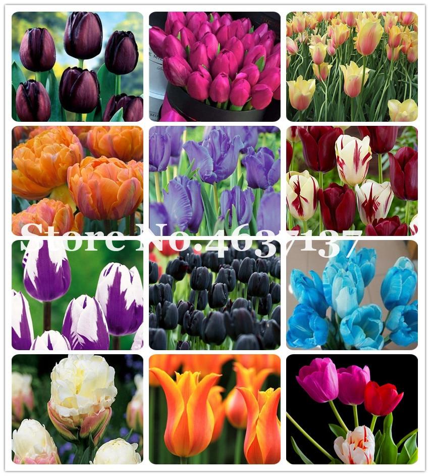 100Pcs Multifarious Tulip Flowers, Tulip Bonsai Of Perennial Garden Flower(Not Tulip Bulb)Herbs For Home Garden Courtyard Beauty