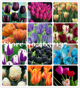 Tulip Bonsai Flowers Garden Beauty Herbs Home 100pcs of for Courtyard Perennial Multifarious
