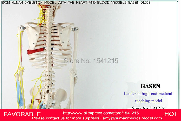 HUMAN ANATOMICAL SKELETON  WITH NEURAL VESSEL  BONES NERVES MEDICAL SKELETON MODEL HUMAN HEART MODEL SKELETON MODEL GASEN-GL008 human anatomical male body integral skeleton organ skin medical teach model school hospital