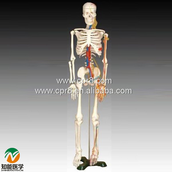 BIX-A1005 Human Skeleton Model With Heart And Vessels Model (85CM) WBW394 bix a1005 human skeleton model with heart and vessels model 85cm wbw394