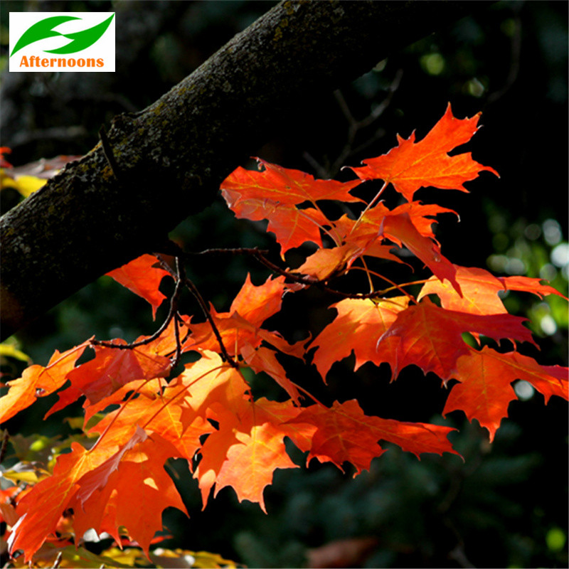 200pcs Red Maple Seeds Acer Rubrum Canadian October Glory Autumn