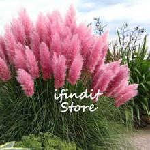 100pcs Rare Mixed Red Pampas Grass Planta Ornamental Flower Plant Bonsai Potted Cortaderia Selloana Grass DIY Home Garden Decor
