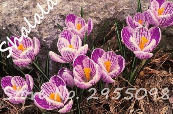 New Arrival 120pcs Hot Sale Many Varieties Saffron Seeds Saffron