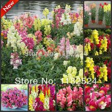 1000+ – Multi-colored Snapdragon Seeds Bonsai Flower Plant Seeds * free Shipping
