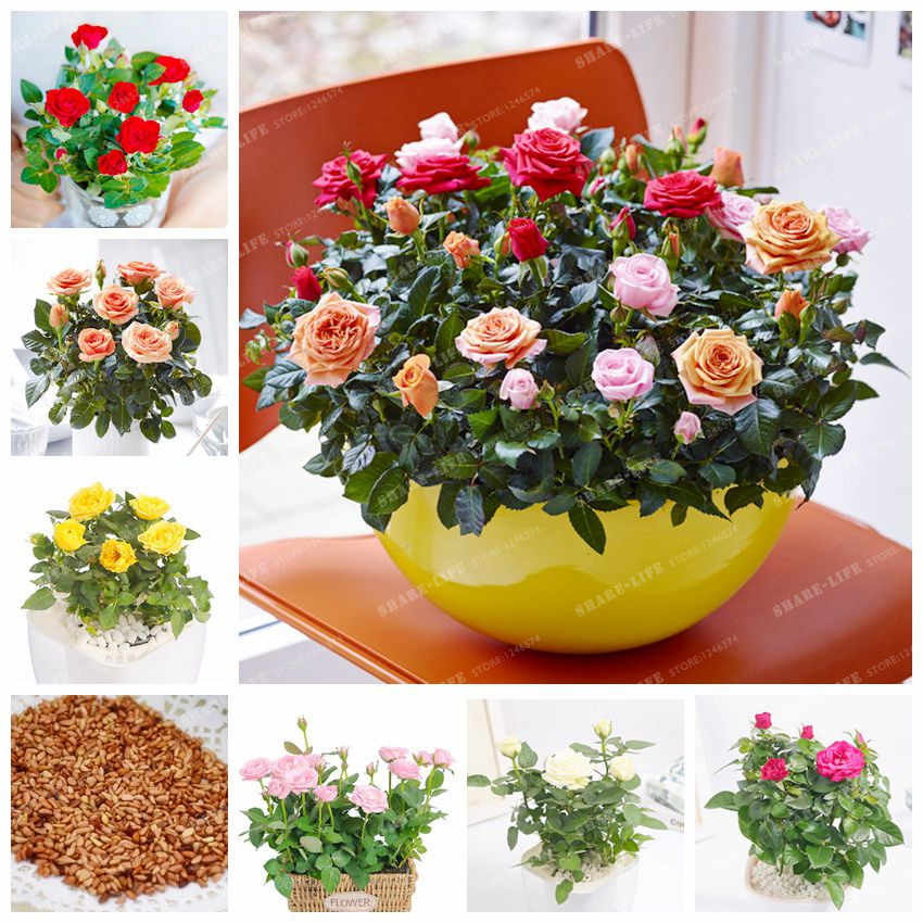 100 Pcs/Bag Rose Bonsai Rare Bonsai Mini Rose Flower Bonsai Natural Growth Pot Plant Balcony Bonsai Plant For DIY Home Garden