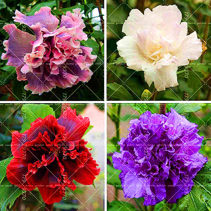 Detail Feedback Questions About 100pcs Rare Hibiscus Tree Chinese