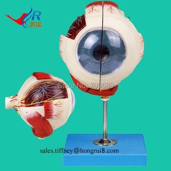 ISO Vivid Eyeball Anatomical Model, Big Eye Model