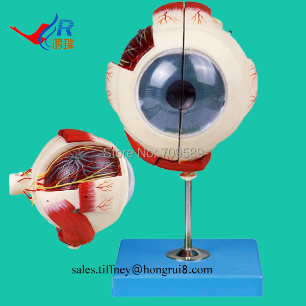 ISO Vivid Eyeball Anatomical Model, Big Eye Model-in Medical Science ...