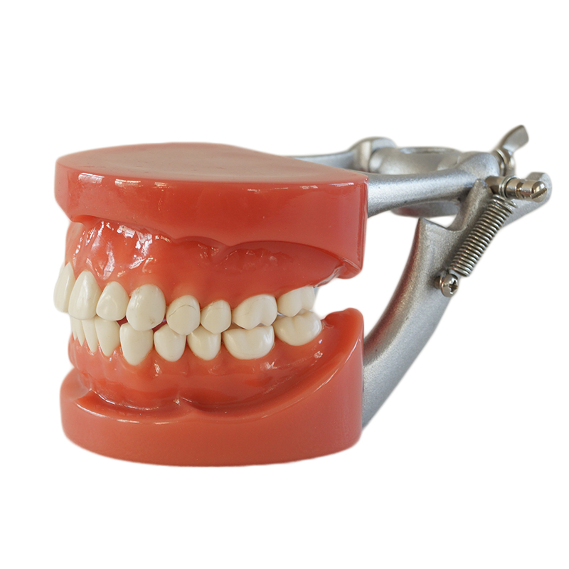 High Quality Standard Model dental tooth model Medical teaching tool art tools Brush teeth education tool Hard Gum