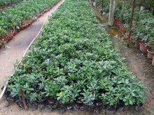 5 PCS/BAG Rare red Desert Rose Seeds Balcony Bonsai Ornamental Flowers Adenium obesum Seeds Absorption of Formaldehyde