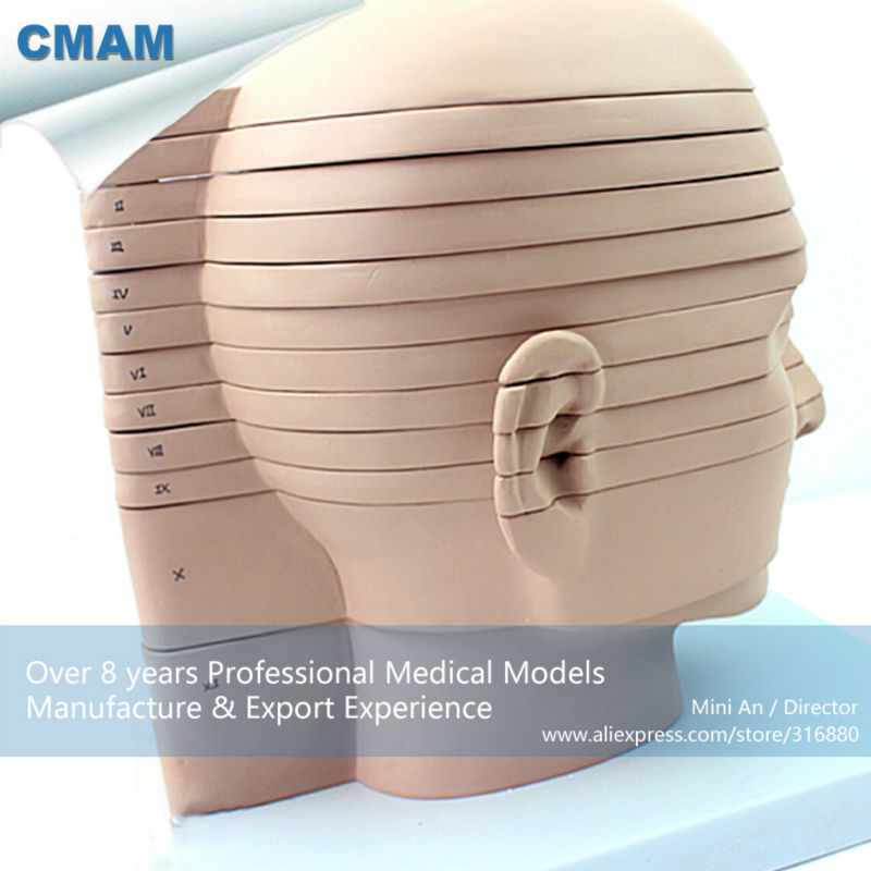12398 CMAM-BRAIN01 Human Head Horizontal Section Anatomical Model 3 1 human anatomical kidney structure dissection organ medical teach model school hospital hi q