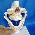 Modelo anatómico modelo de enseñanza médica Dental Oral modelo de esqueleto, diente Dentista para La Enseñanza de La Ciencia Médica